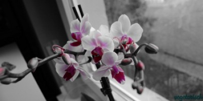 Orchideen sw pink