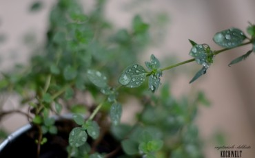 Thymian im Regen