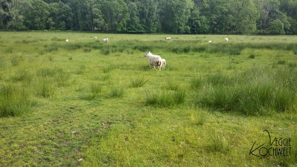 Rundreise 2017 - Schafe in Schottland